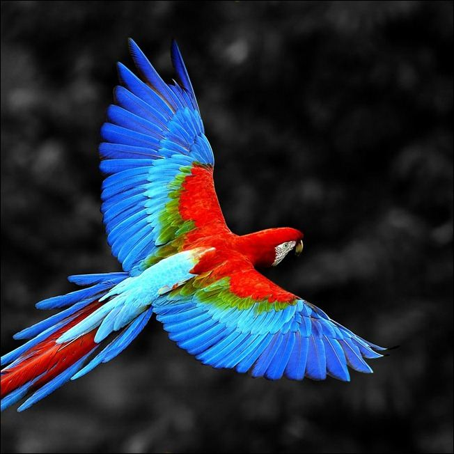 ColorfulMacawinFlight