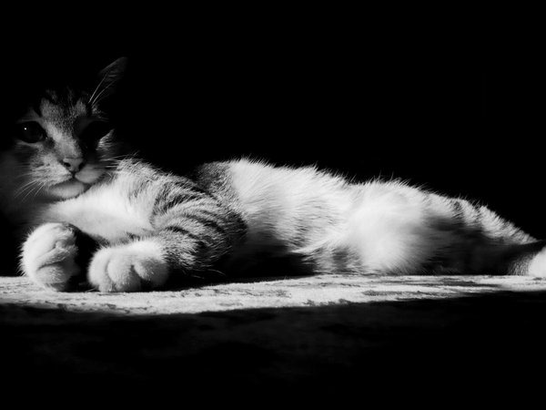 lazy-kitten-in-black-and-white-wallpapers