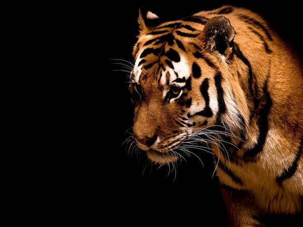 tiger-in-the-dark-wallpapers